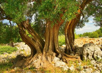 The Olive Trees of Lun